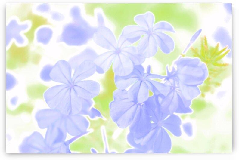 Blue Plumbago Flowers in Watercolor by Michaela Scherr