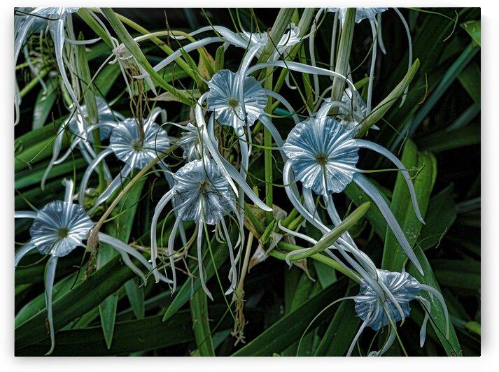 White Spider Lily in Australian Garden by Michaela Scherr
