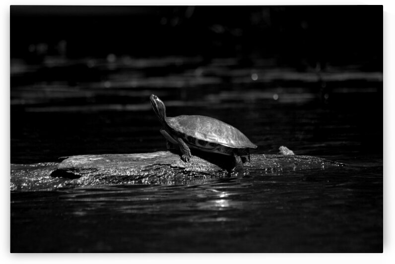Turtle by Christopher Lumpp