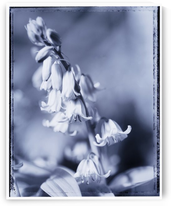 Bluebells by Adrian Brockwell