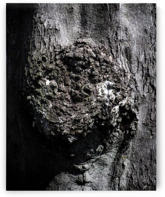gnarly bark tree fort mchenry 3280675 by Bill Swartwout Photography