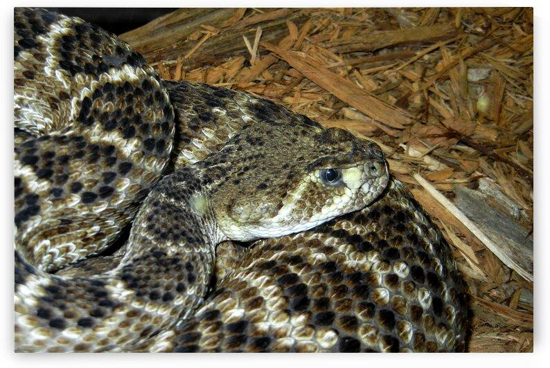rattlesnake western diamondback mbzoo N2342 by Bill Swartwout Photography