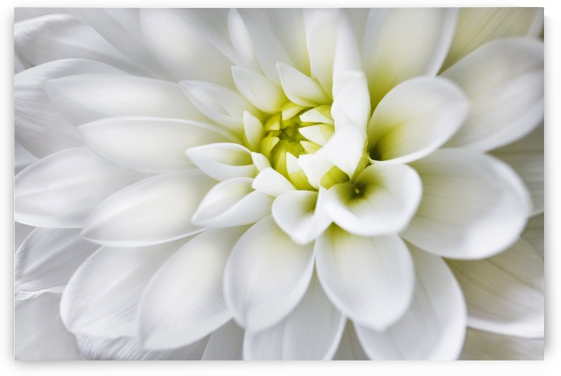 White Dahlia by Adrian Brockwell