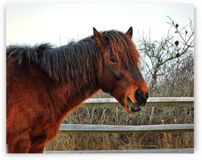 assateague pony chip delegates pride w fence 0110 by Bill Swartwout Photography