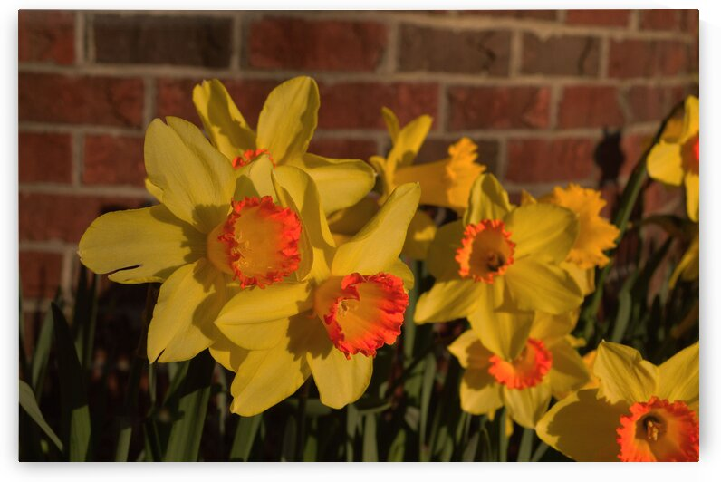 Daffodil by Christopher Lumpp