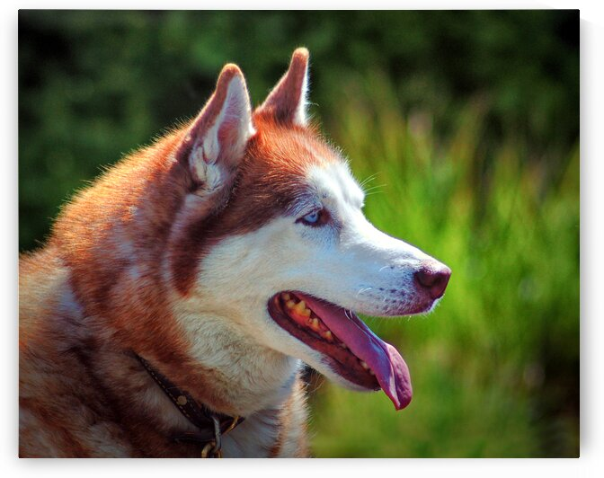 dog huskey profile right color 7941 1613341795.3639 by Bill Swartwout Photography