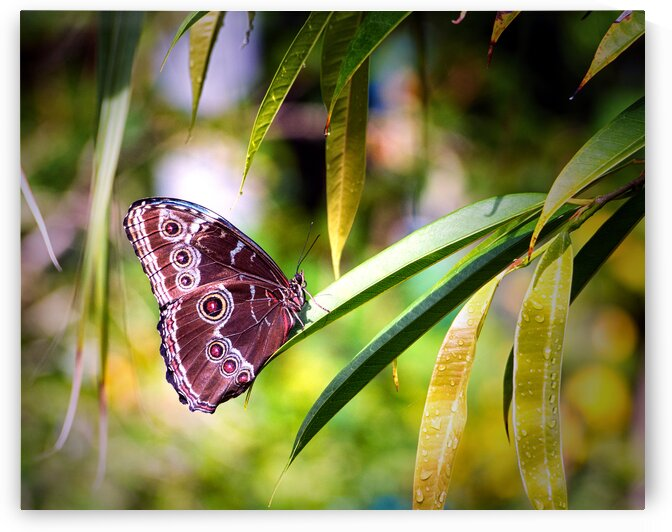 blue morpho butterfly st thomas by Bill Swartwout Photography