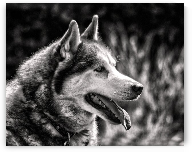dog huskey profile right black white 7941 by Bill Swartwout Photography
