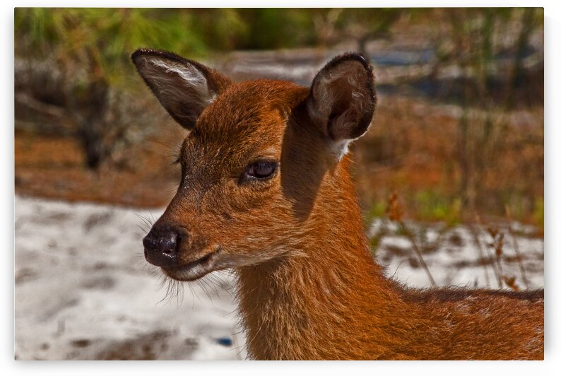 assateague sika deer close 7195 by Bill Swartwout Photography