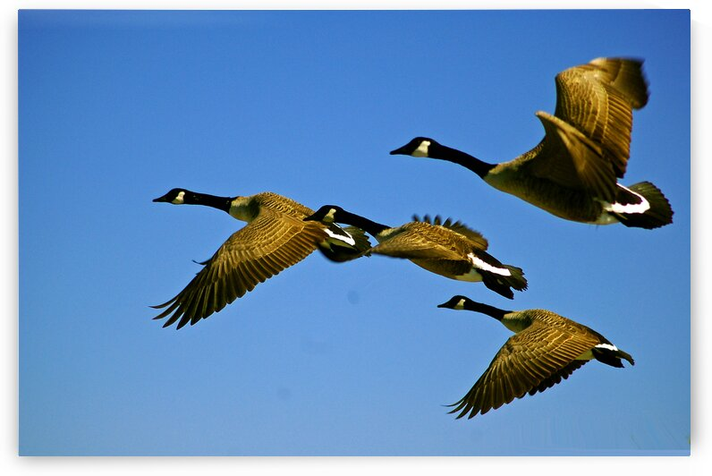 geese canada x4 oc 4976 by Bill Swartwout Photography