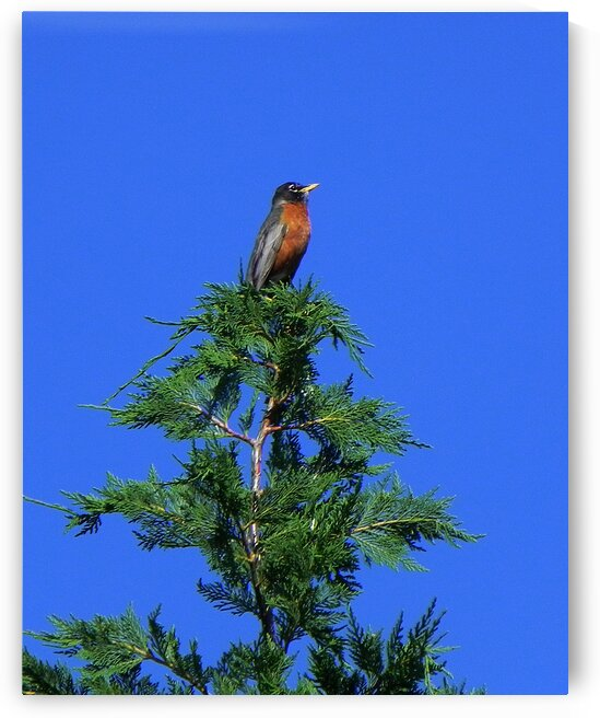 robin pine tree topper N0739 by Bill Swartwout Photography