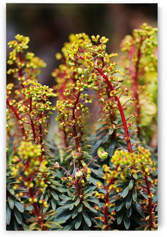 Mediterranean Spurge Plant Flowers  by Joy Watson