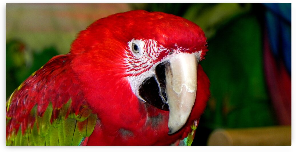 scarlet macaw 1800x900 01 by Bill Swartwout Photography