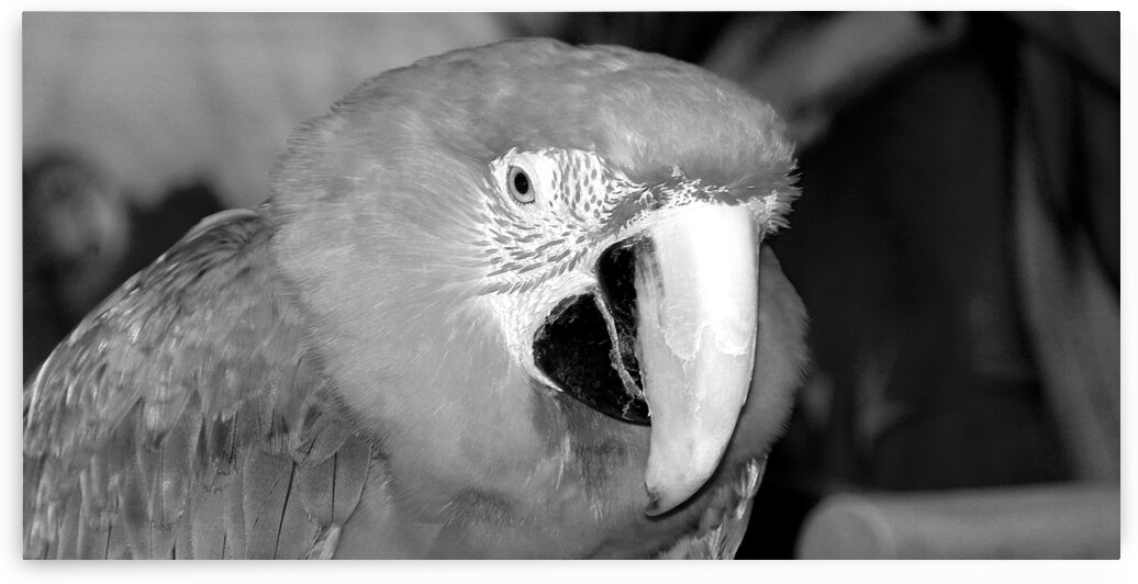 scarlet macaw 1800x900 01 black white by Bill Swartwout Photography