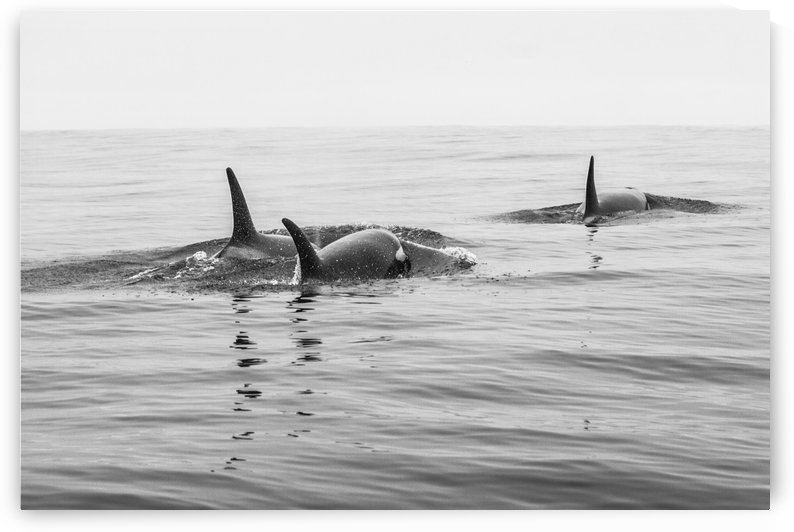Whales2 by P  W  Sobey