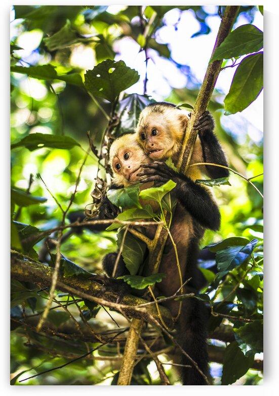 Wild capuchin monkeys in jungle Osa Peninsula Costa rica Central America 2015 by Atelier Knox