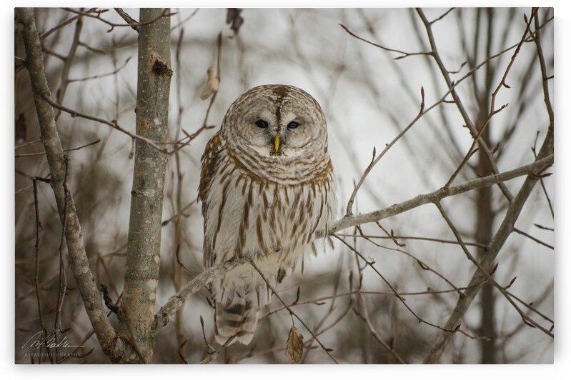 Barred Owl by RichardBoudreauAstrophotography