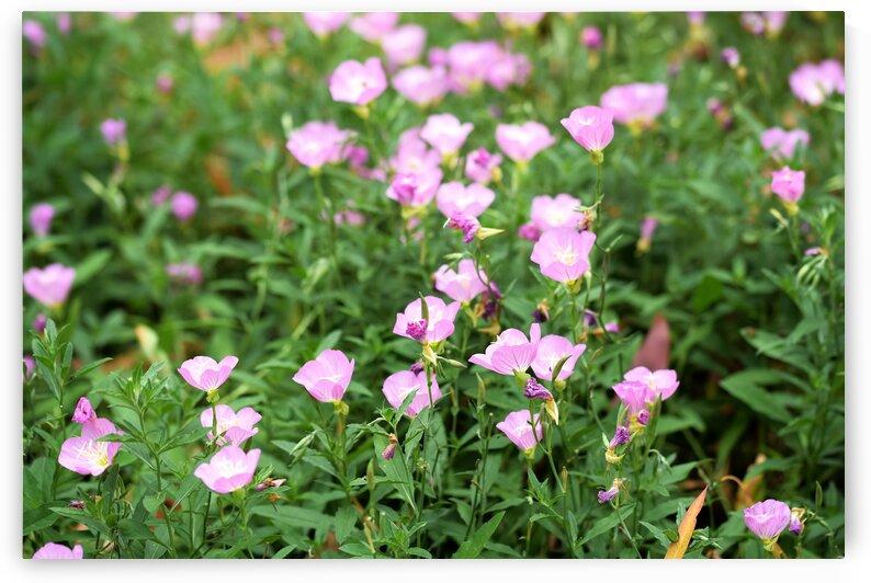 Carpet of Lilac Pink Flowers by Michaela Scherr