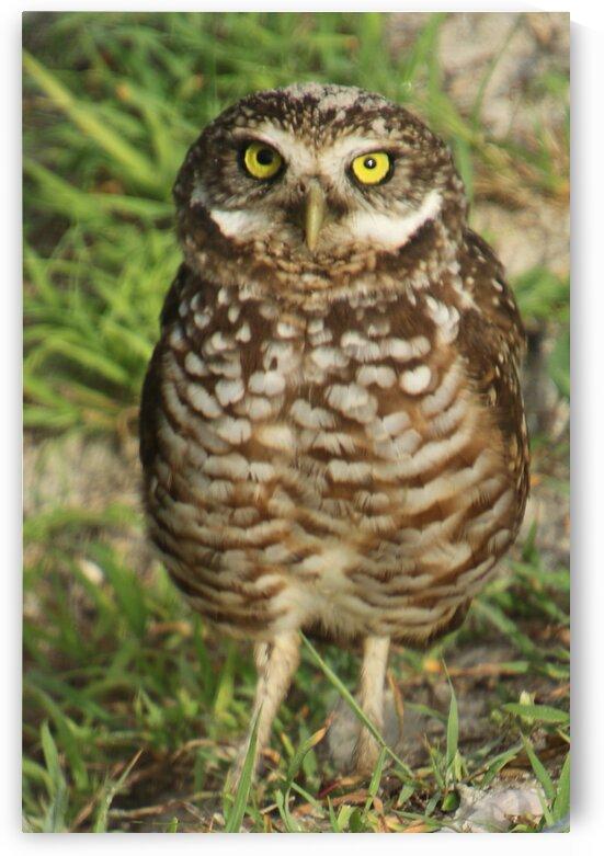 burrowing owl up close 4244 by Dan Sheridan Photography