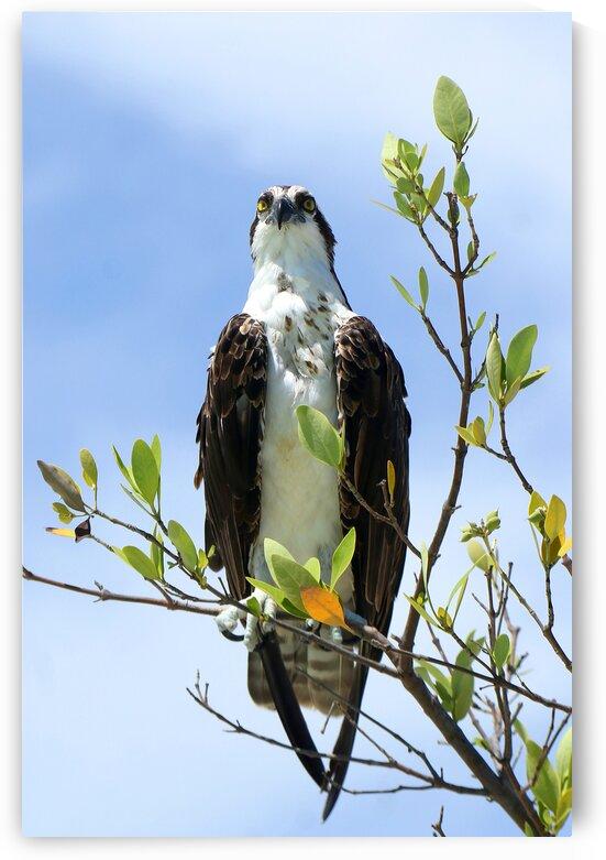 osprey both eyes in bush 4343 by Dan Sheridan Photography