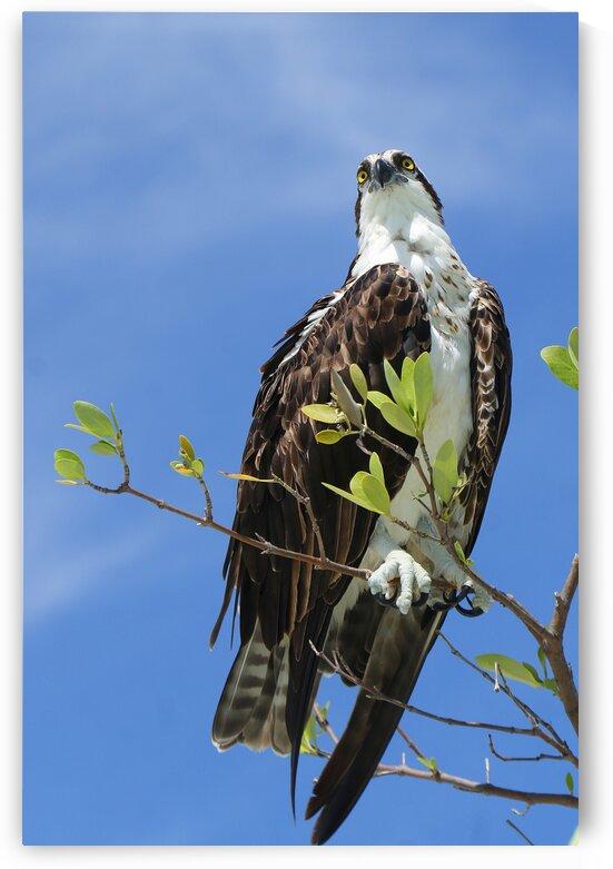 osprey 2 eyes 4376 by Dan Sheridan Photography