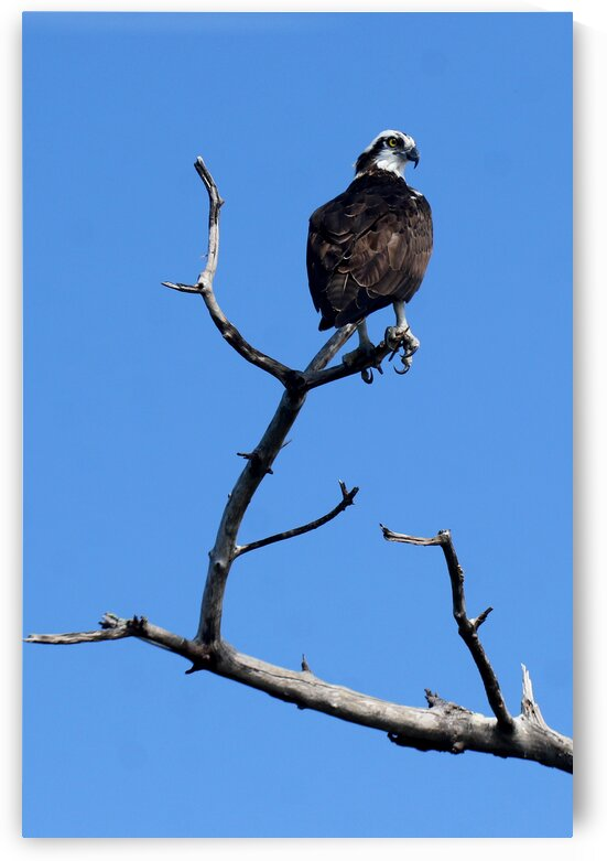 osprey atop tree one eye and claws 7534 by Dan Sheridan Photography