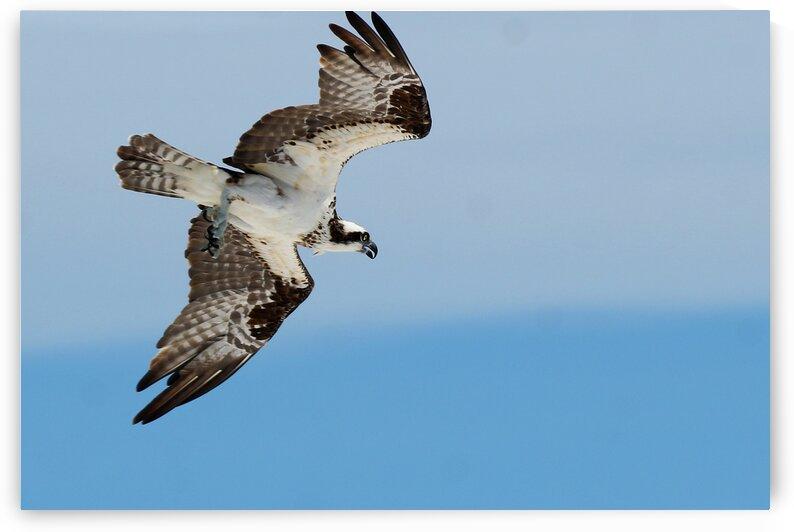 osprey angled 4485 by Dan Sheridan Photography