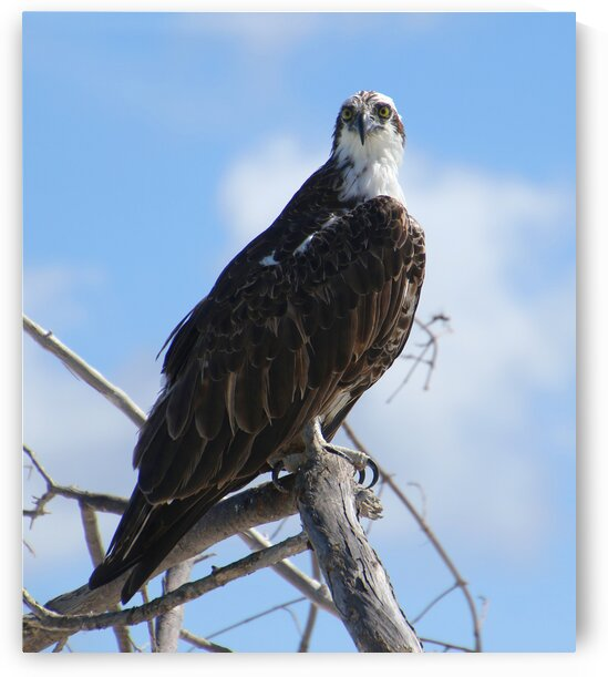 osprey 2 yes looking left 1175 by Dan Sheridan Photography