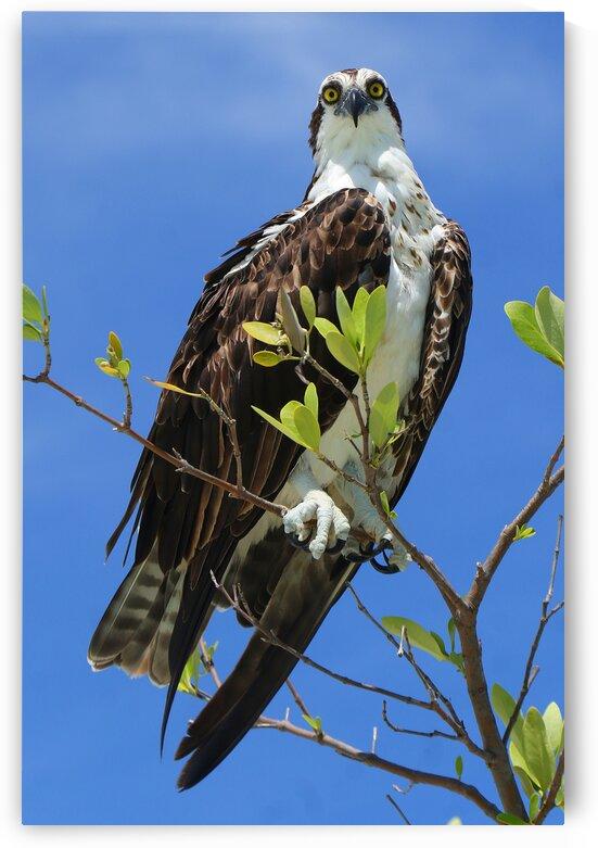 osprey eyes on cam 4381 by Dan Sheridan Photography
