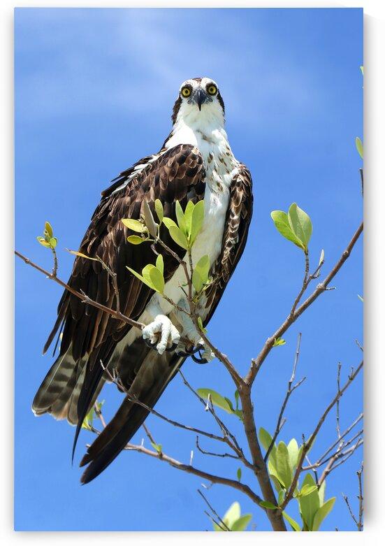 osprey 2 eyes 4379 by Dan Sheridan Photography