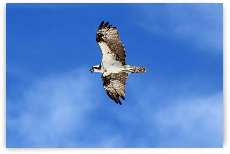 osprey in flight mouth open tongue 4425 by Dan Sheridan Photography