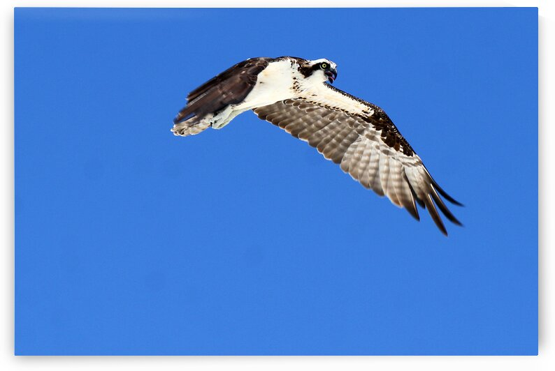 osprey in flight tongue out 4450 by Dan Sheridan Photography
