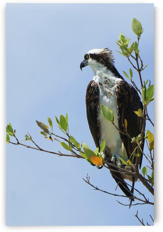 osprey profiled away 4339 by Dan Sheridan Photography