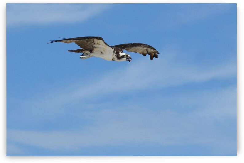 osprey in flight NICE 4502 by Dan Sheridan Photography