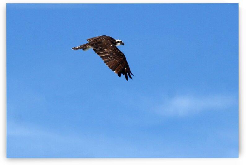 osprey in flight wings down 4416 by Dan Sheridan Photography