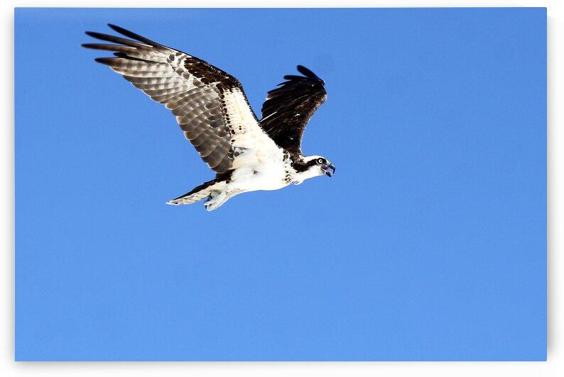 osprey wings up flight 4449 by Dan Sheridan Photography