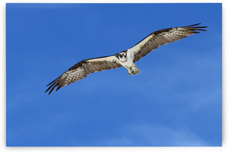 osprey in flight eyes on cam 4421 by Dan Sheridan Photography