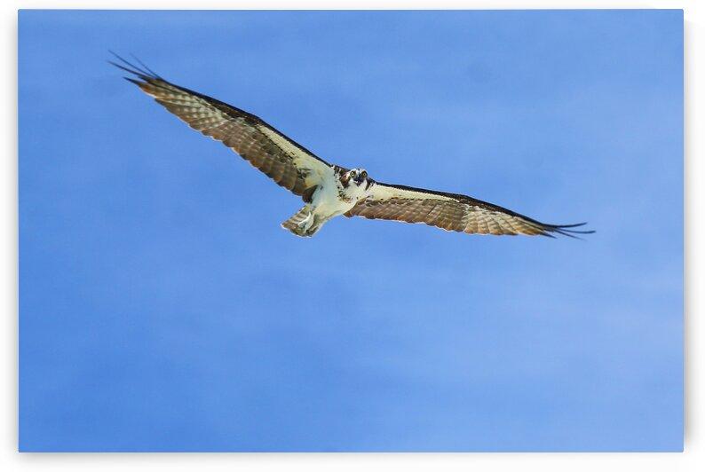 osprey overhead eyes on cam 4402 by Dan Sheridan Photography