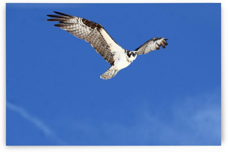 osprey high wings 4438 by Dan Sheridan Photography