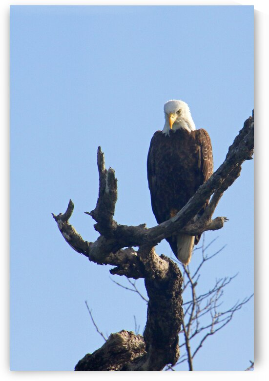 eagle in tree looking down angled v 0598 by Dan Sheridan Photography