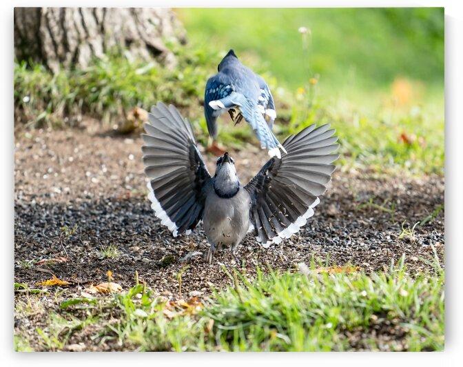 Canadian Blue Jay  by Saïd Khalil