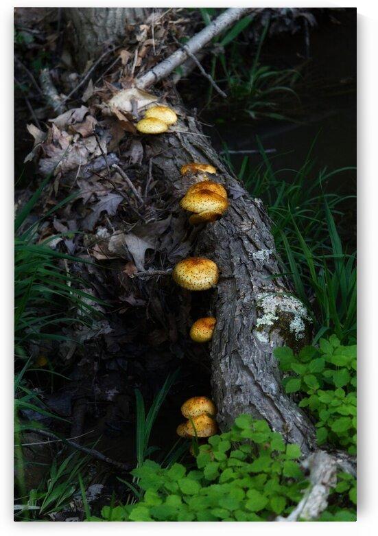 Brown mushrooms growing on a log by Michael Geyer