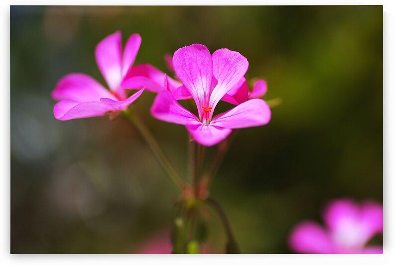 Geranium Applause In Pink Flower by Joy Watson