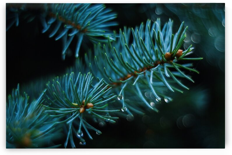 Autumn Pine Green Nature Closeup Tree Forest Iglak by 7ob