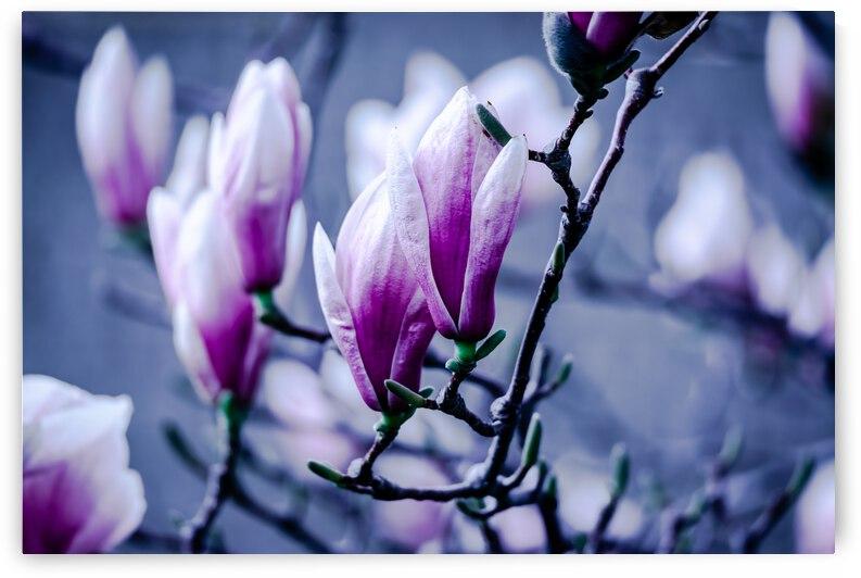 Magnolia flowering time by PitoFotos