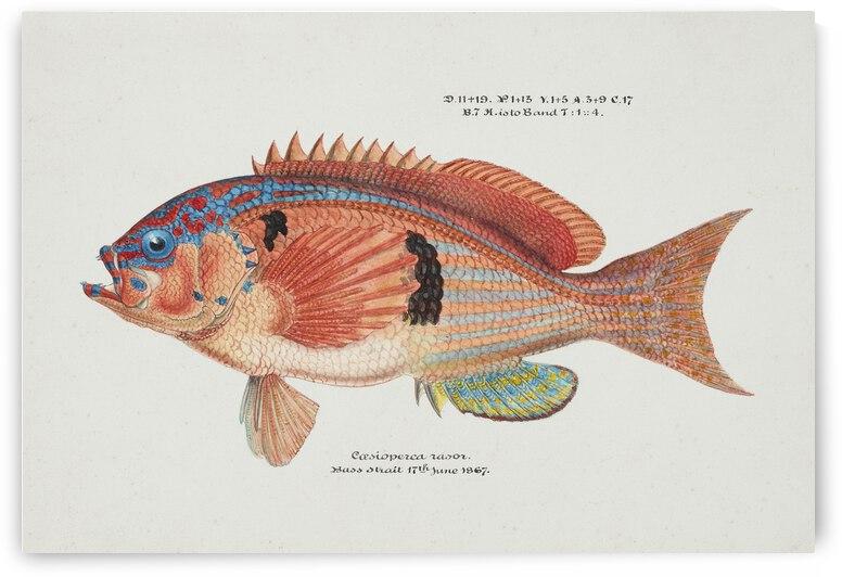 Frank E Clarke Antique fish caesioperca rasor sea perch 1849 1899 by TOPARTGALLERY