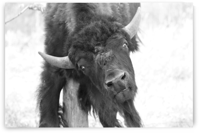 Young American Bison by Cameron Wilson Photos
