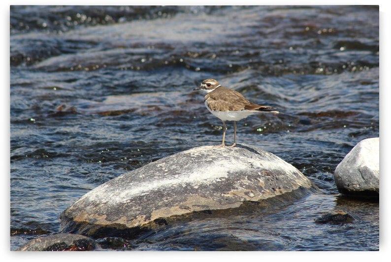 Killdeer Bird by Cameron Wilson Photos