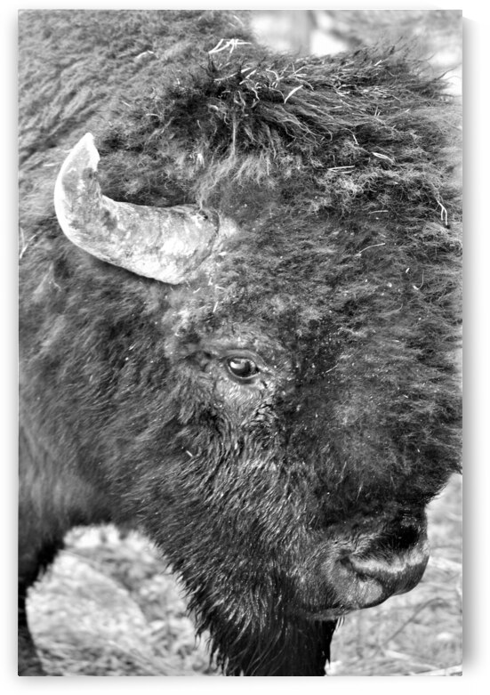 Yellowstone American Bison by Cameron Wilson Photos