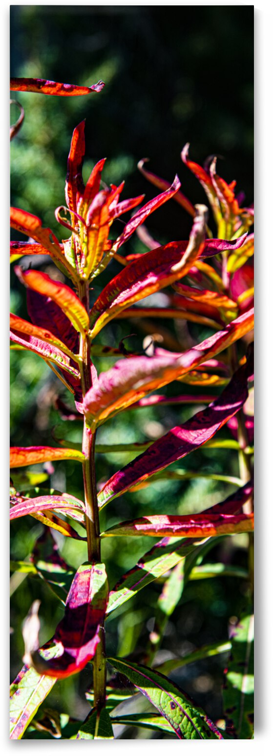 Fall Fireweed Brilliance - MSP21109 by MICHAEL SCHMIDT PHOTOGRAPHY